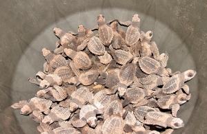 se liberan más de medio millón de neonatos de tortugas parlamas