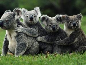 El número de koalas varía entre varios centenares de miles a unos 40 mil en estado salvaje.