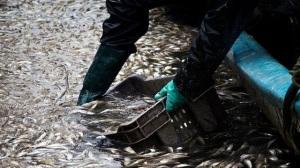 Expertos-estudian-varamiento-sardinas-Chile_908919334_11045515_667x375