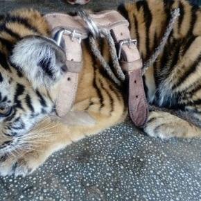 Dos tigres siberianos rondaban enSuchitepéquez