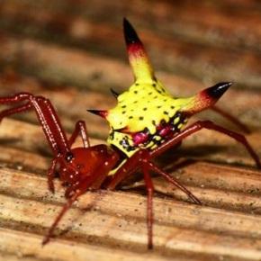 ¿Por qué esta araña se parece a la cabeza dePikachu?