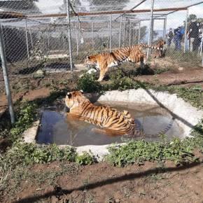 Felinos rescatados de circos, enviados aSudáfrica
