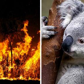 Mitad de la población de koalasmuere