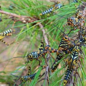 Alerta fitosanitaria forestal porlangosta