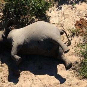 Mueren 275 elefantes en circunstanciasmisteriosas