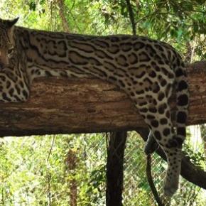 ARCAS y CONAP liberarán en Petén 70 animalesrescatados