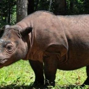 Todos los rinocerontes de Sumatra hanmuerto