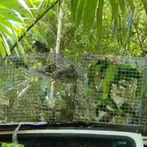 Liberación de loros enPetén