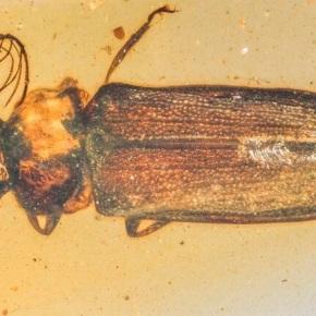 Escarabajo de luz de hace 100 millones de años en unámbar