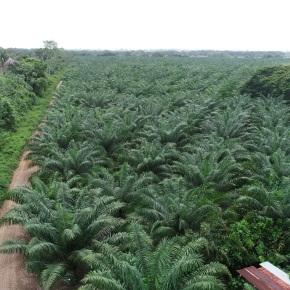 Monitorean cultivo de Palma de Aceite enGuatemala