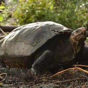 Encuentran tortuga que se creía extinguida enGalápagos